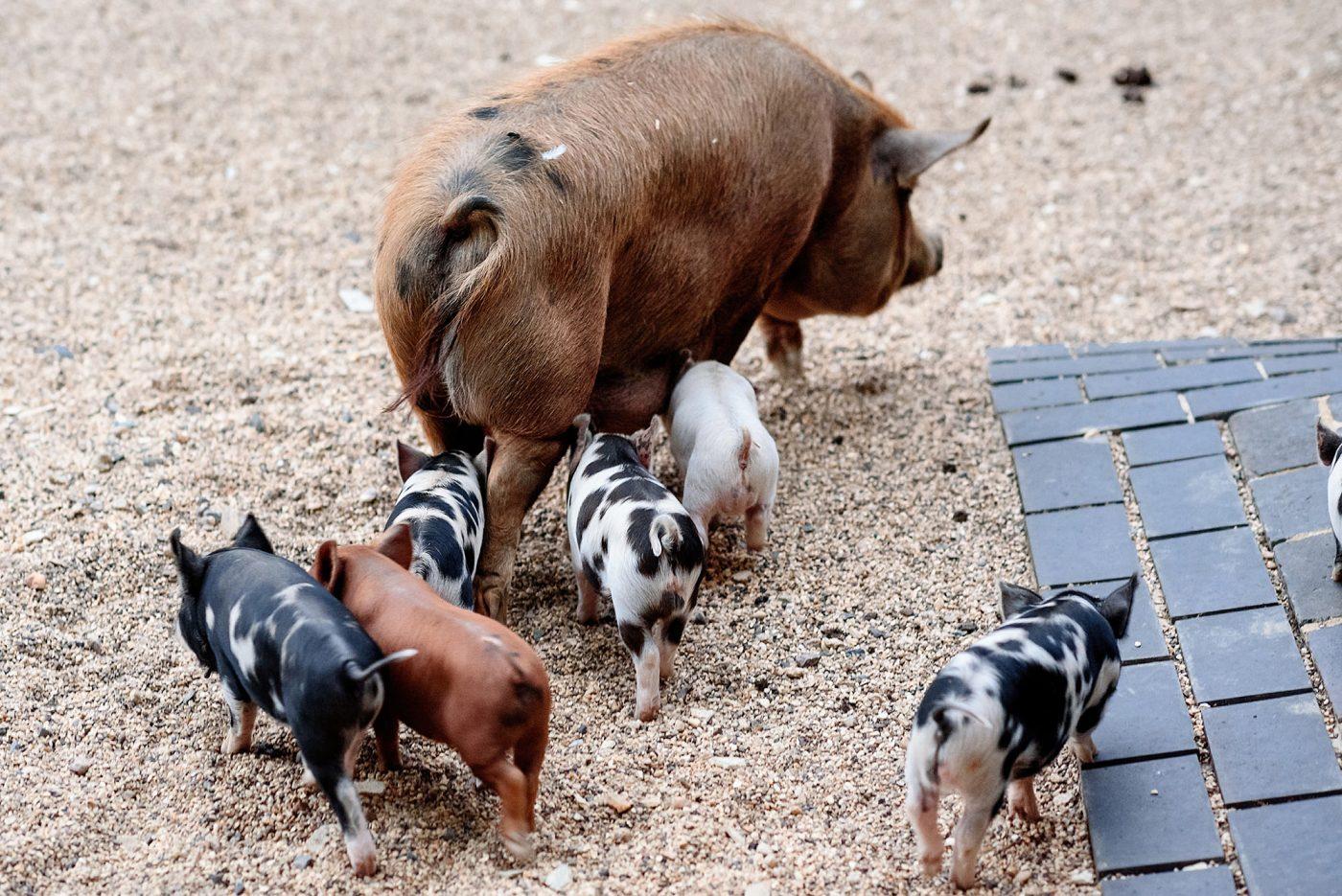 piglets at south farm