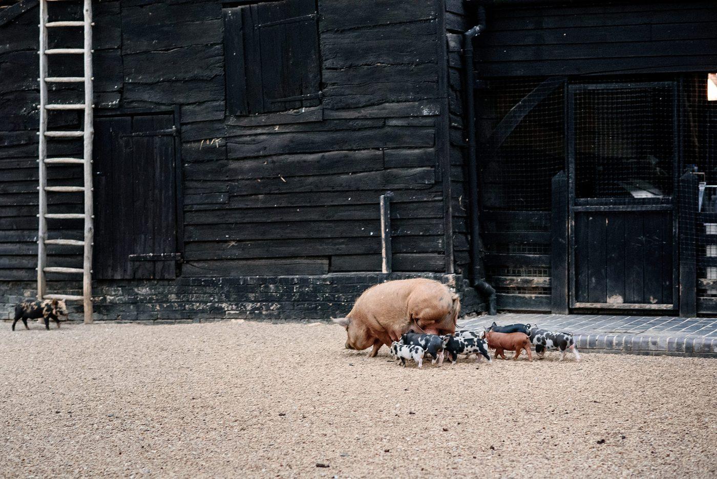 pigs at barn wedding in royston